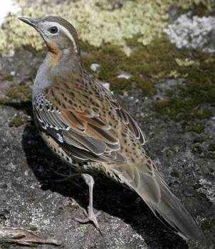 Spotted Quail-thrush