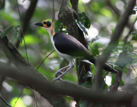 Yellow-headed Picathartes © Ghana Wildlife Society