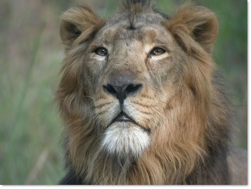 Asiatic Lion at Gir 2