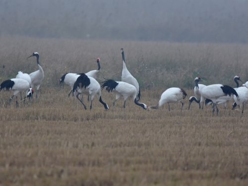 Red-crowned Cranes, Yancheng 2016