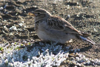 Bimaculated Lark copyright Johannes Jansen