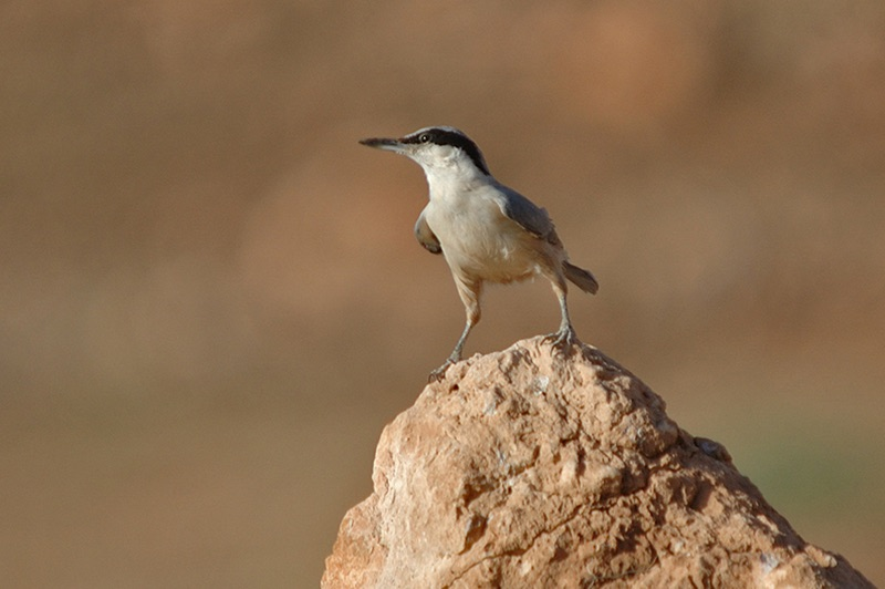 Eastern Rock Nuthatch