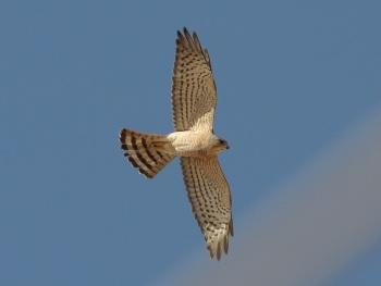 Levant Sparrowhawk copyright Ingmar van der Brugge
