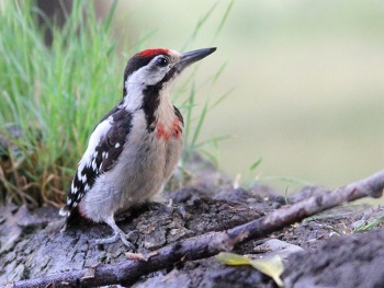 Syrian Woodpecker copyright Bart van Hoogstaten