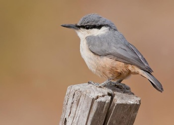 Western Rock Nuthatch copyright Paul Cools