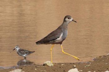 White-tailed Lapwing copyright Dick Hoek
