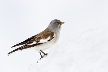 White-winged Snowfinch copyright Jaap Denee