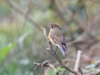 Red-flanked Bluetail, Nanjishan 2