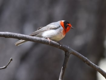 Red-faced Warbler - Arizona