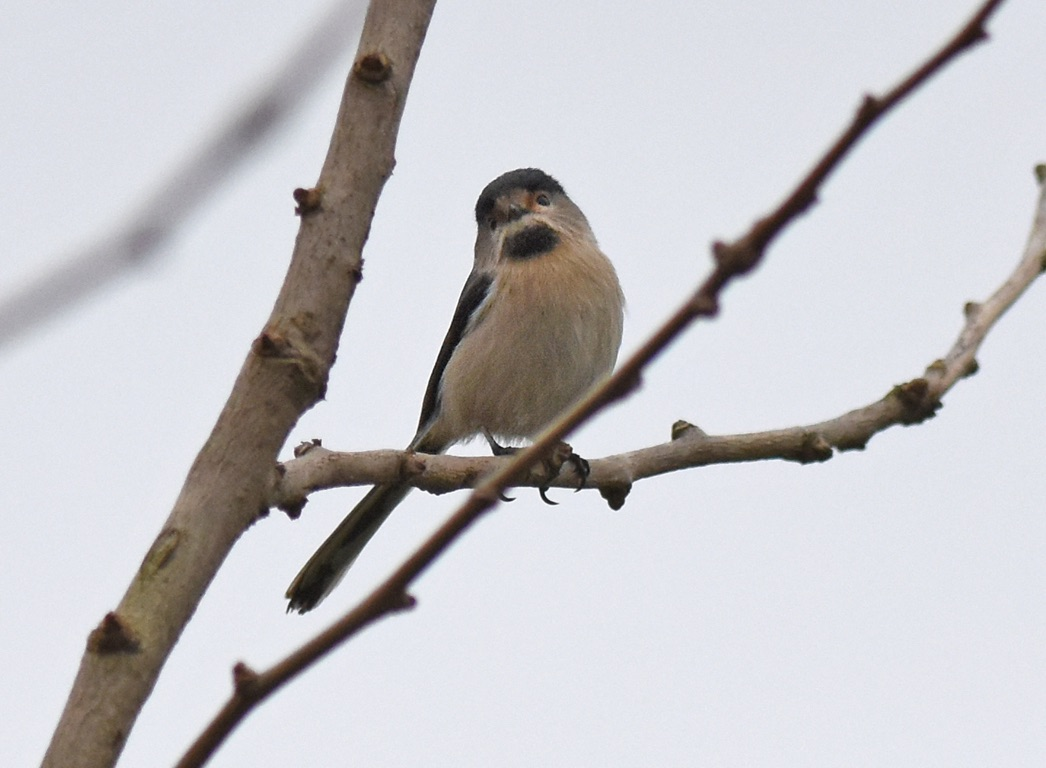silver-throated bushtit