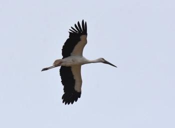 Oriental Stork at Yanchang