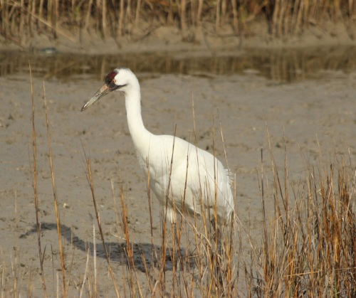 Whooping Crane, Aransas, copyright James Smith