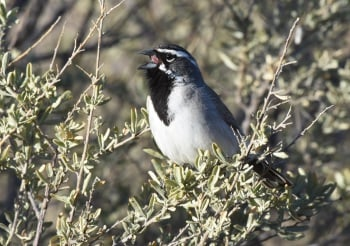 Black-throated Sparrow at San Pedro House