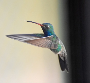 Broad-billed Hummer at Madera Canyon 2