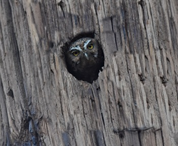 Elf Owl at Madera Canyon