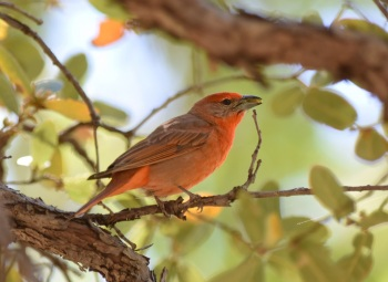 Hepatic Tanager at Ramsey Canyon