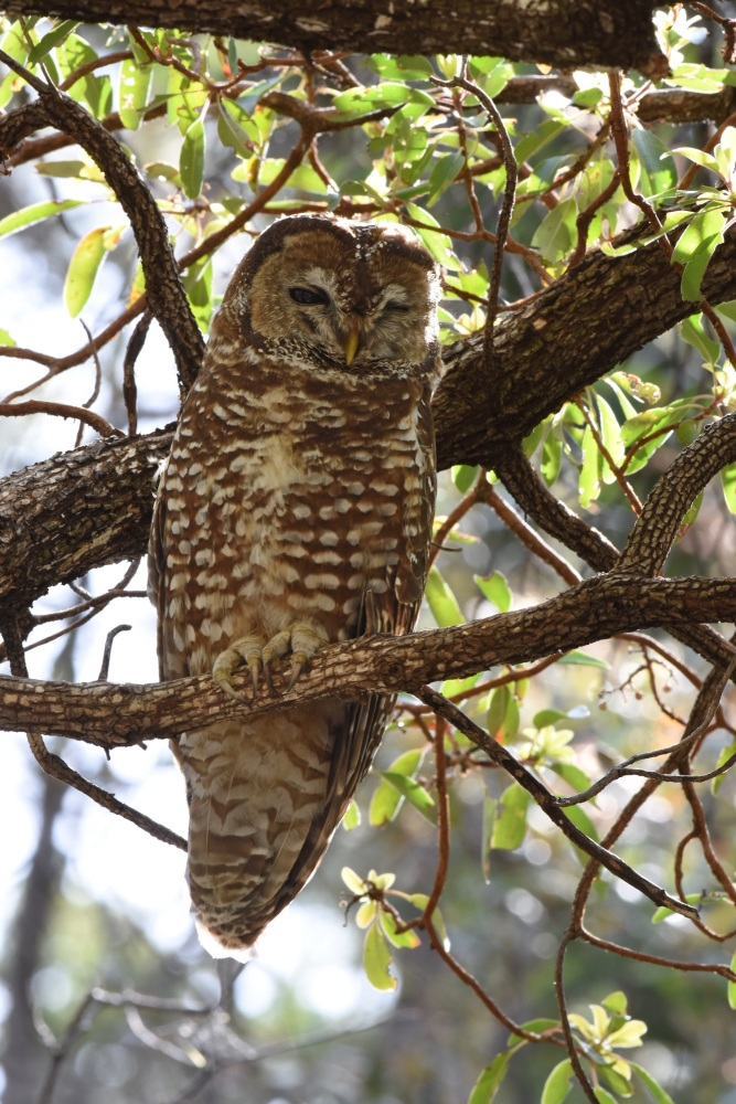 Mexican Spotted Owl 2