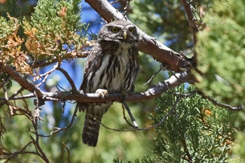 Mountain Pygmy Owl - Arizona 2016