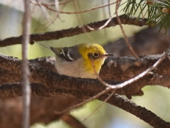 Olive Warbler - Arizona