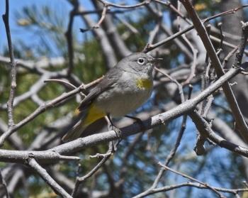 Virginias Warbler A