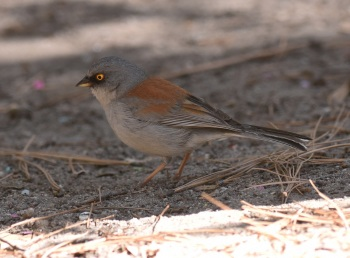 Yellow-eyed Junco 2