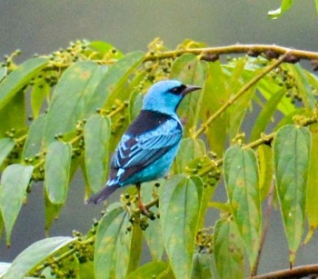 Blue Dacnis by Sandy Sorkin