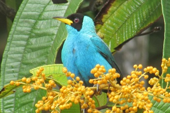 Green Honeycreeper by Ann Sealey of AWNC