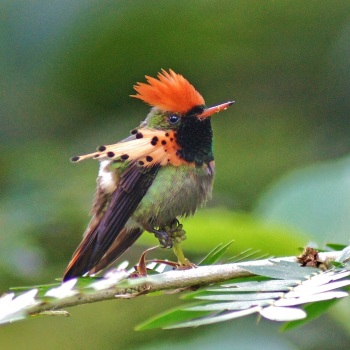 Tufted Coquette by Mukesh Ramdass - AWNC