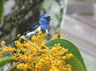Turquoise-Tanager by Ann Sealey - AWNC