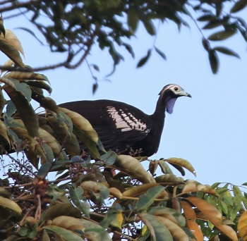Trinidad Piping Guan 2 by Peg Abbot of Caligo Ventures
