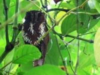 Feline Owlet-nightjar-1