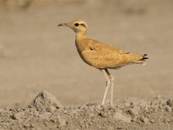 Cream-coloured Courser by Barak Granit