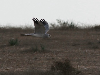 Pallid Harrier by Barak Granit