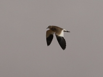 Sociable Lapwing by Barak Granit