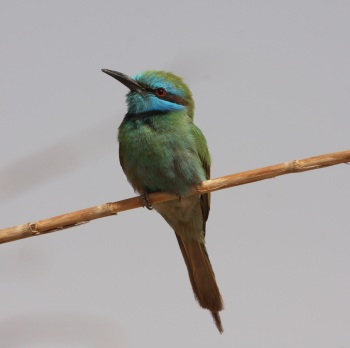 Little Green Bee-eater by James P. Smith