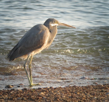 Western Reef Heron by James P. Smith
