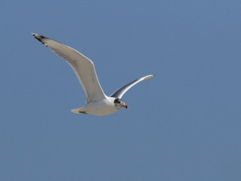 Pallass Gull 2 by Barak Granit