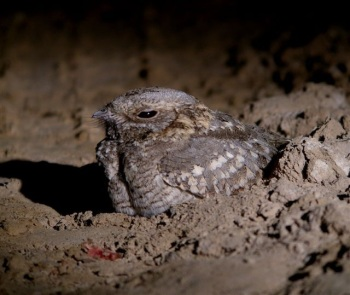 Nubian_Nightjar by Nick Bray