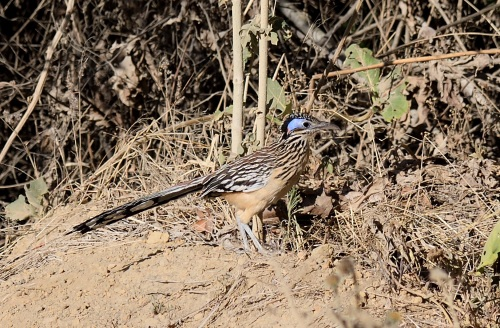 Lesser Roadrunner - West Mexico 2017