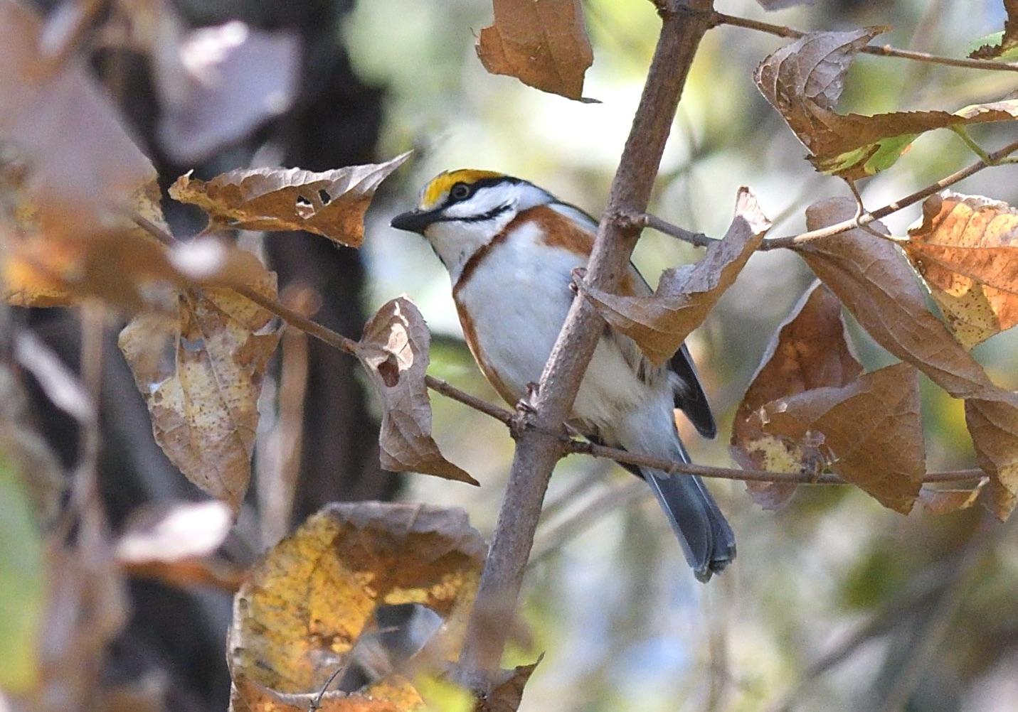 chesatnut-sided shrike-vireo