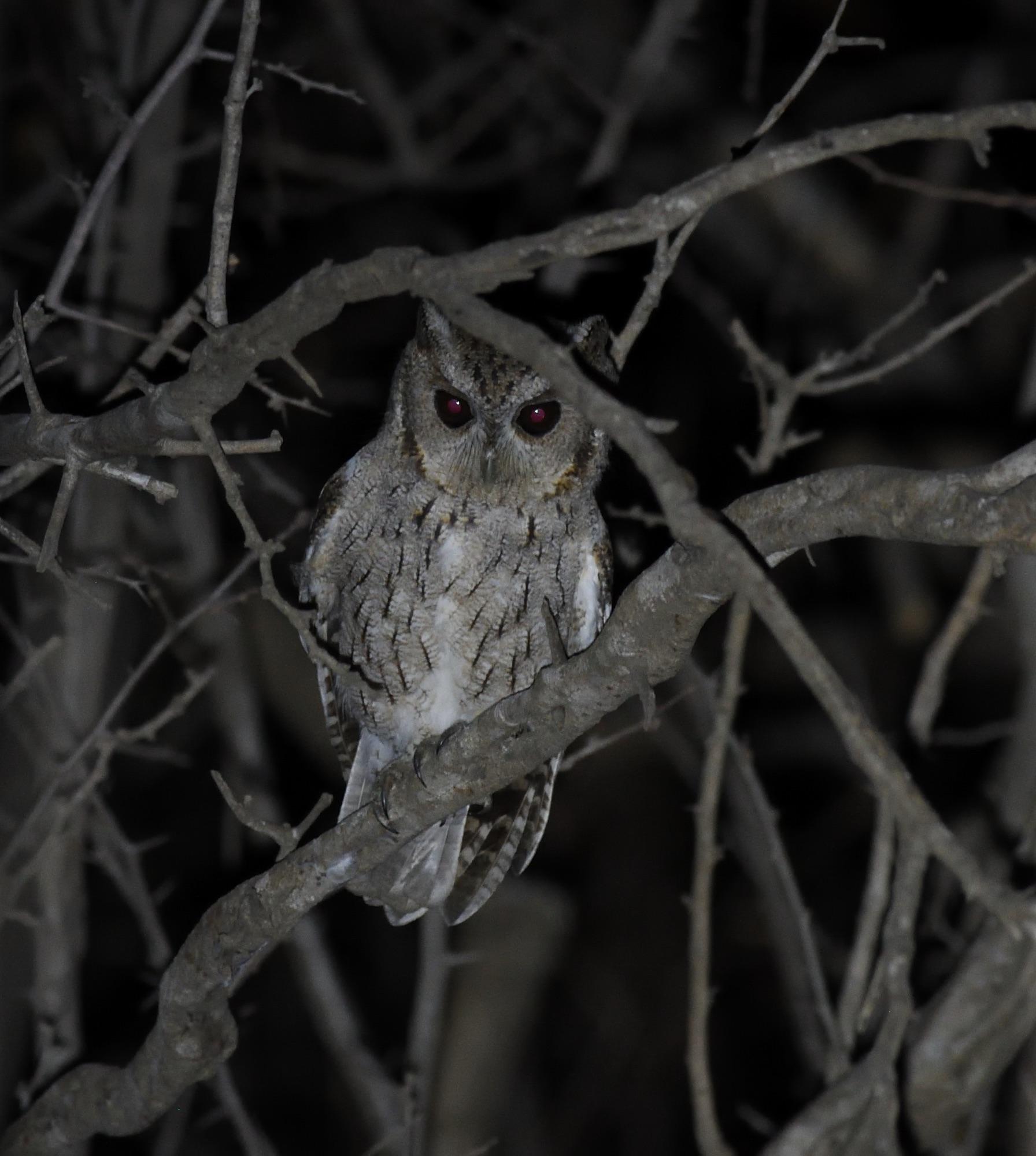 balsas screech owl