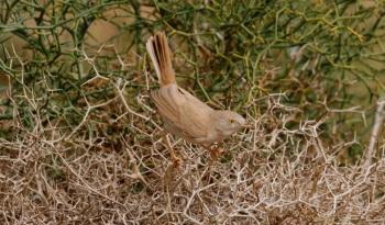 African Desert Warbler copyright Gayuin Birding Tours