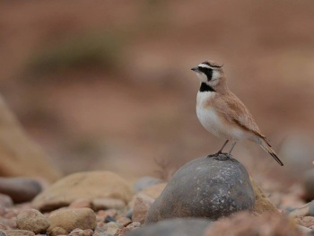 Atlas Horned Lark copyright Gayuin Birding Tours