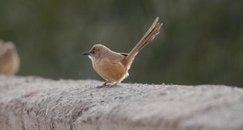Fulvous Babbler copyright Gayuin Birding Tour