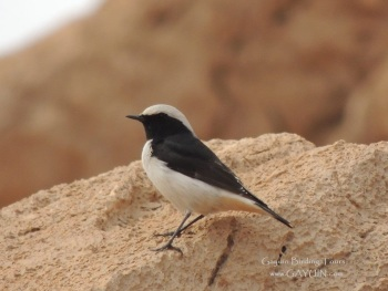 Maghred Wheatear by Gayuin Bird Tours