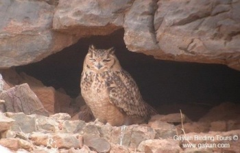 Pharaoh Eagle Owl copyright Gayuin Birding Tours