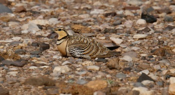 Pin-tailed Sandgrouse copyright Gayuin Birding Tours