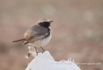 Red-rumped Wheatear copyright Gayuin Birding Tours