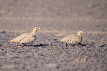 Spotted Sandgrouse copyright Gayuin Birding Tours