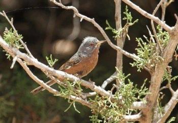 tristrams Warbler copyright Gayuin Birding Tours